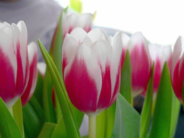 tulip-for-hapiness-1559712-1280x960